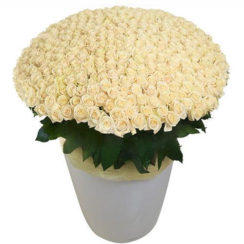 товар 301 біла троянда у великому вазоні