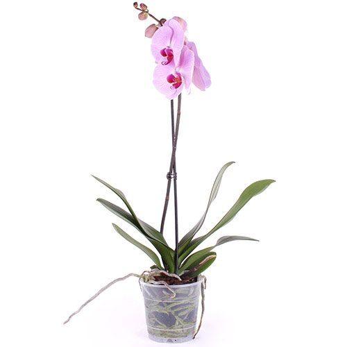 Орхідея в горщику