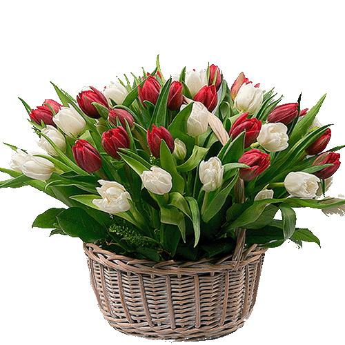 51 тюльпан у кошику червоний та білий